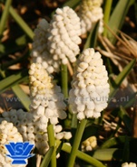 White Magic (muscari)