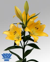 Vws Flowerbulbs Lilium Lily Bulbs La Hybrid Ceb