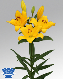 Vws Flowerbulbs Lilium Lily Bulbs La Hybrid Pavia