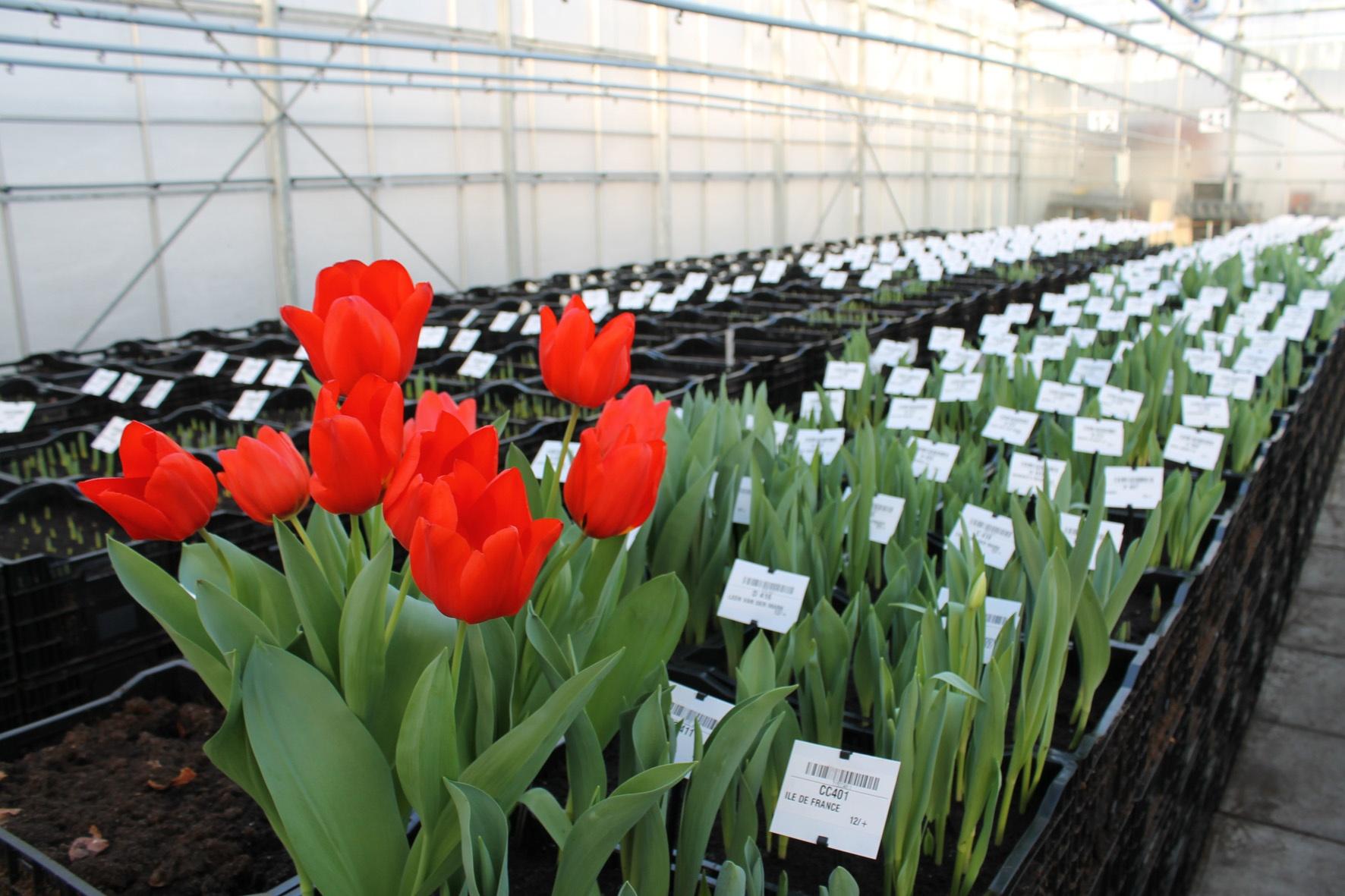 Тюльпаны: посадка и выращивание в саду, сорта, борьба с 83